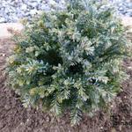 Chamaecyparis lawsoniana 'Rimpelaar' -