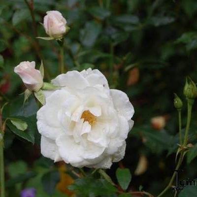 Rosa 'Schneewittchen' - Roos - Rosa 'Schneewittchen'