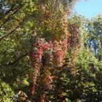 Parthenocissus - Parthenocissus - Wilde wingerd