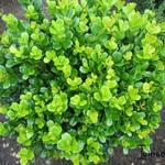 Buxus harlandii - Buxus harlandii - Buxus, randpalm