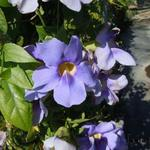Thunbergia grandiflora  - Bengaalse trompet - Thunbergia grandiflora