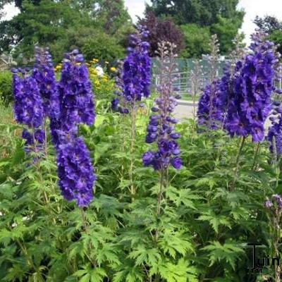 Delphinium pacific-giant -