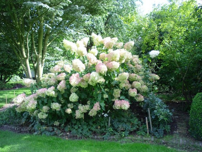 pluimhortensia hydrangea paniculata 39 phantom 39. Black Bedroom Furniture Sets. Home Design Ideas