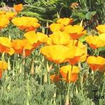 Eschscholzia californica - Eschscholzia californica - Slaapmutsje, Goudpapaver
