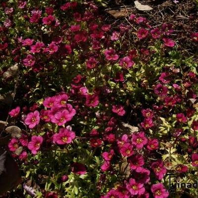 Saxifraga arendsii CARPET 'Purple Robe' - Steenbreek