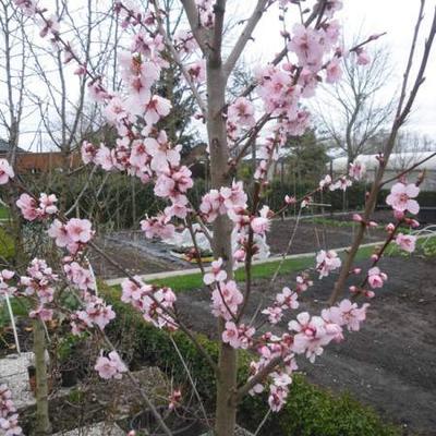 Prunus dulcis 'Robijn' -