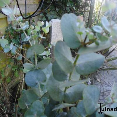 Eucalyptus plant kopen