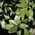 Olijfwilg - Elaeagnus x ebbingei