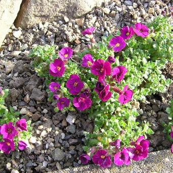 Aubrieta 'Red Carpet'