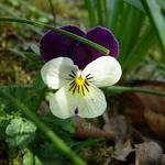 Driekleurig viooltje - Viola tricolor