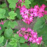 Ribes sanguineum 'King Edward VII' - Siertrosbes - Ribes sanguineum 'King Edward VII'