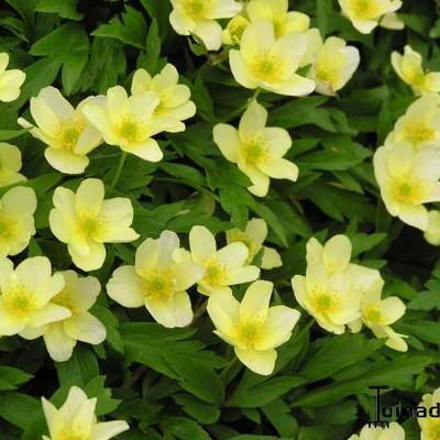 Anemone x Lipsiensis -