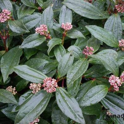 Viburnum davidii  - Sneeuwbal - Viburnum davidii