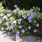 Surfinia 'Blue Vein' - Hangpetunia