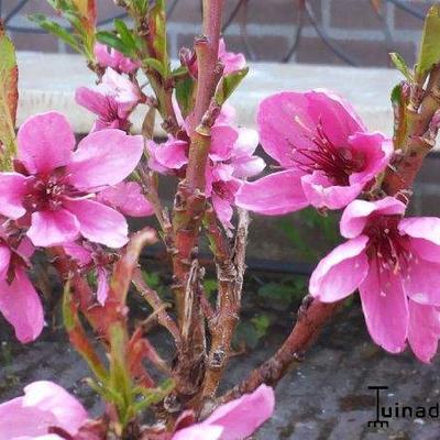 Prunus persica var nucipersica  -