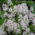 Tiarella cordifolia 'Eco Running Tapestry' - Tiarella cordifolia 'Eco Running Tapestry' - Schuimbloem/Perzische muts/Schuimkaars