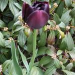 Tulipa 'Black Hero' - Tulp