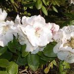 Rhododendron  'Gartendirektor Rieger' - Rhododendron  'Gartendirektor Rieger' - Rododendron