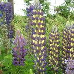 Lupinus West Country 'Manhattan Lights' - Lupine