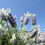 Lavandula stoechas 'Little Bee- Blue White' - Kuiflavendel