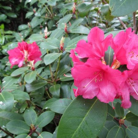 Rhododendron 'Anna Rose Whitney'