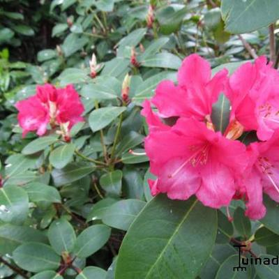 Rhododendron 'Anna Rose Whitney' - Rododendron - Rhododendron 'Anna Rose Whitney'