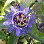 Passiflora caerulea 'Purple Haze' - Passiebloem - Passiflora caerulea 'Purple Haze'