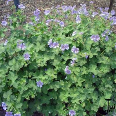 Geranium renardii 'Stephanie' -