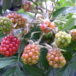 Rubus fruticosus 'Thornless Evergreen' - Braambes