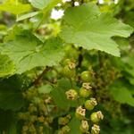 Ribes rubrum 'Jonkheer van Tets' - Aalbes, Rode bes - Ribes rubrum 'Jonkheer van Tets'
