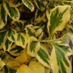 Euonymus fortunei 'Emerald'n Gold' - Kardinaalshoed, Kardinaalsmuts - Euonymus fortunei 'Emerald'n Gold'