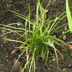 Liriope spicata - Leliegras - Liriope spicata