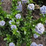 Ceanothus repens 'Blue Mound' - Amerikaanse sering - Ceanothus repens 'Blue Mound'