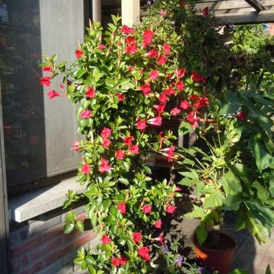 Sundaville red pěstování