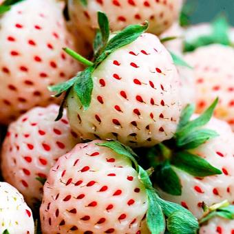 Fragaria x ananassa 'Pineberry'