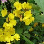 Oenothera fruticosa 'Fyrverkeri' - Oenothera fruticosa 'Fyrverkeri' - Teunisbloem