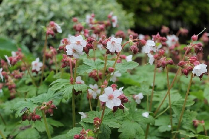 Ooievaarsbek geranium macrorrhizum