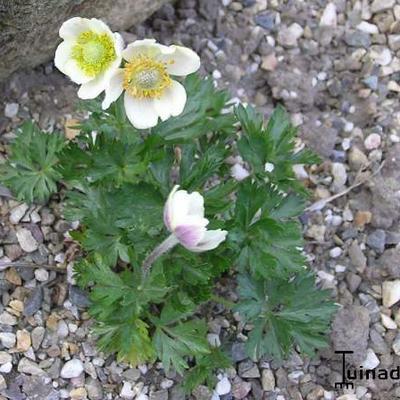 Anemone multifida -