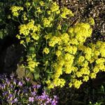 Aurinia saxatilis - Aurinia saxatilis - Schildzaad, Rotsschildzaad