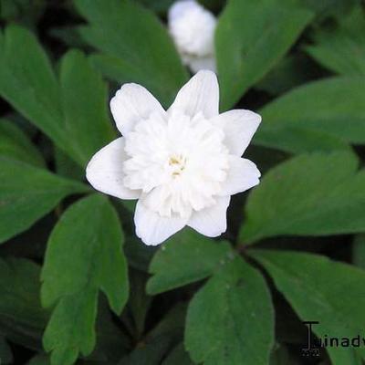 Anemone nemorosa 'Bracteata Pleniflora' -
