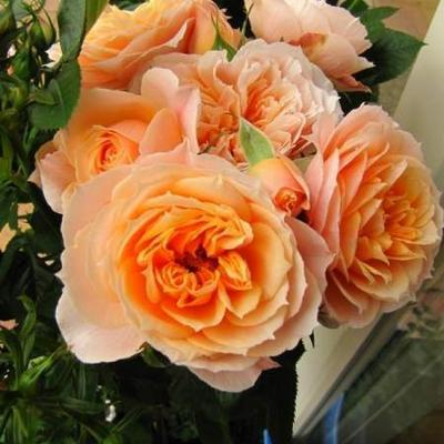 Rosa 'Royal Orange' -