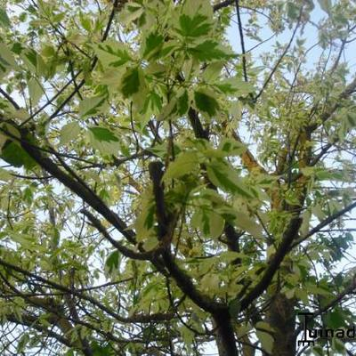 Acer platanoides 'Drummondii' -