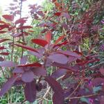 Pruikenboom - Cotinus coggygria 'Royal Purple'
