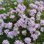 Armeria juniperifolia - Armeria juniperifolia - Engels gras, Strandkruid