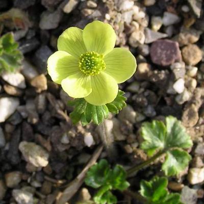 Anemone obtusiloba yellow-flowered -