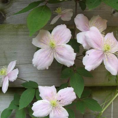 Bosrank - Clematis montana 'Fragrant Spring'