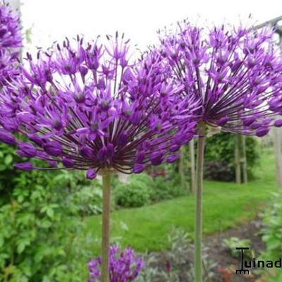 Allium giganteum kopen