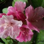 Rhododendron 'Doc' - Rododendron