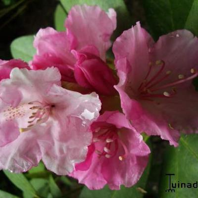 Rhododendron 'Doc' -