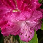 Rhododendron 'Germania' - Rododendron